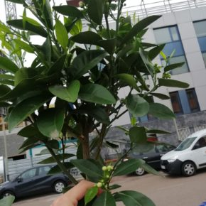 El Ayuntamiento de Astillero planta árboles frutales en el casco urbano para reponer o ampliar los espacios y alcorques que carecían de arbolado