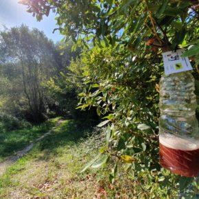 500 avispas asiáticas capturadas en Astillero en la campaña de trampeo de primavera/verano